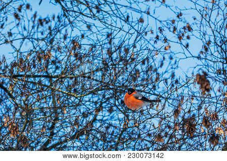 Beautiful Bird Of A Bullfinch Sitting On Tree Branches In Winter
