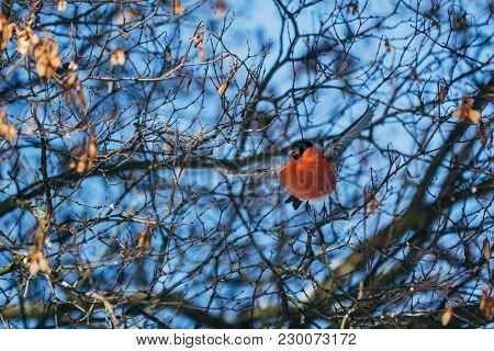 A Flying Bullfinch With A Red Breast Among Dry Branches Of A Tree