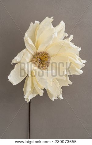 Single Faded Beige Coral Charm Crepe Paper Dahlia On Brown Wooden Background