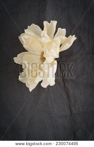 Single Faded Beige Coral Charm Crepe Paper Dahlia On Brown Linen