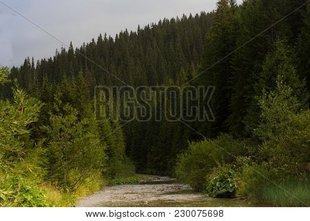 Spruce Forest In The Carpathians Mountain. Sustainable Clear Ecosystem. Ukraine.