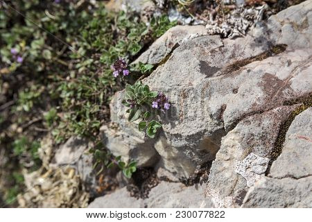 Detail Of Leaves And Flowers Of Mother-of-thyme, Thymus Praecox. Photo Taken In Saliencia Valley, So