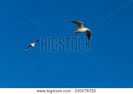 Flying Seagull With Open Mouth. White Seagull Fly In The Blue Sky.