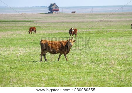 Cattle, Colloquially Cows, Are The Most Common Type Of Large Domesticated Ungulates. They Are A Prom