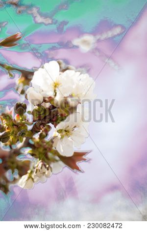 Spring. Apricot Apple Trees In Blossom. Flowers Of Apricot . White Blooms Of Blossoming Tree Close U