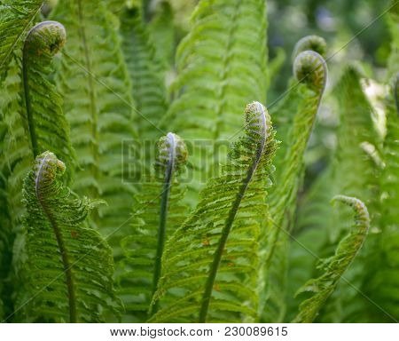 Spring Young Ferns Green Nature Fresh Botany Outdoor