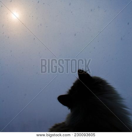 Siberian Cat Sits By Window And Looks At Snowflakes Outside Window On Cold Snowy Winter Day With Sno