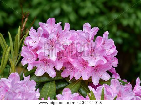 Blooming Rhododendron Bushes In The Garden Of Akureyri, Iceland