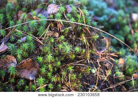 A Layer Of Green Moss Sphagnum In The Autumn Forest