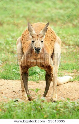 Red Kangaroo Looking At Camera.