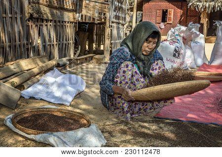 Bagan, Myanmar - January 24, 2016 :  Burmese Farmer Woman Threshes Corn To Remove Chaff