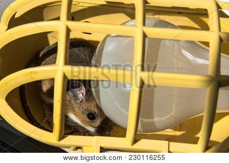 A Wild Brown House Mouse, Mus Musculus, Peeking Out From Behind A Lightbulb In A Yellow Utility Work