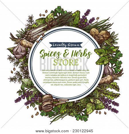 Herbs And Spices Sketch Poster Of For Farm Store Or Market, Vector Design Of Lavender, Rosemary Or C