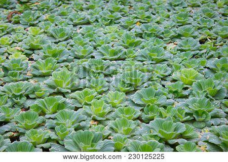 Duckweed Flower Aquatic Weeds, Tropical Greenery, Green Water Plant