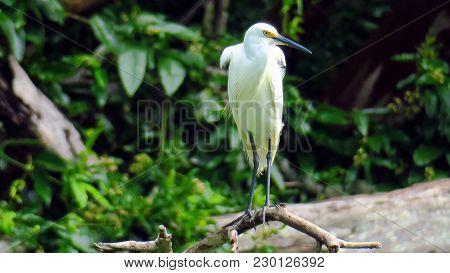 Australian Tropical Little Egret Also Known As Egretta Garzetta