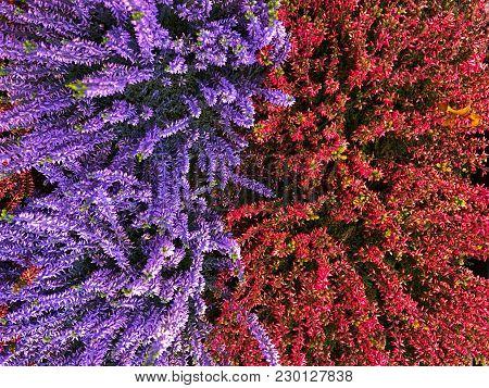 Flowering Very Beautiful Red And Violett Purple Blue Heather Calluna Vulgaris Ericaceae On A Backgro