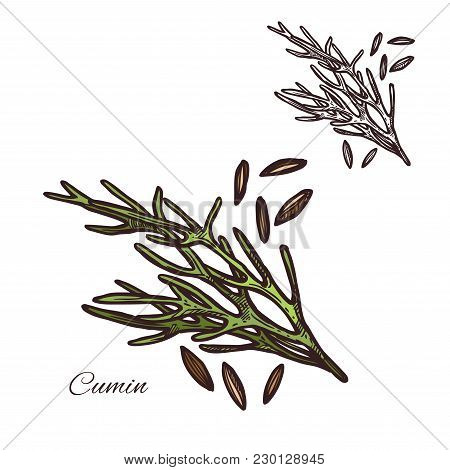 Cumin Seasoning Plant Sketch Icon. Vector Isolated Cumin Herbal Spice And Seeds For Culinary Cuisine