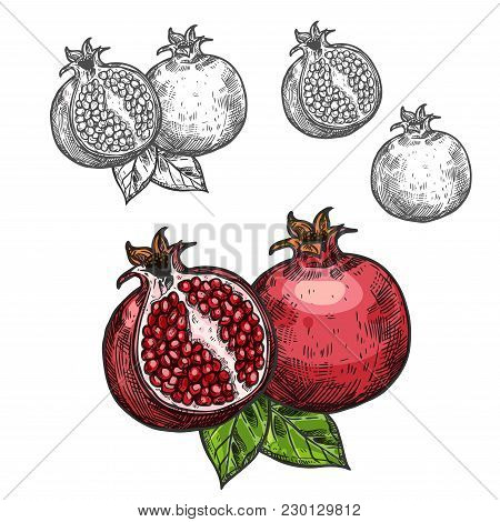 Pomegranate Fruit Sketch Icon. Vector Isolated Symbol Of Fresh Opened And Whole Pomegranate With See