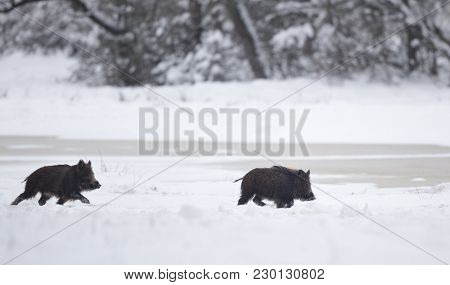Two Wild Boar Piglets Playing On Snow