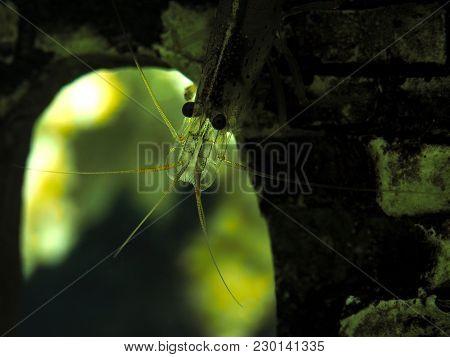 Beautiful Aquarium Shrimp In The Water. Macro Portrait