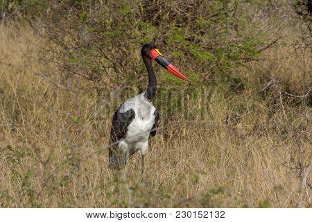A Saddle Billed Stork In Kruger National Park