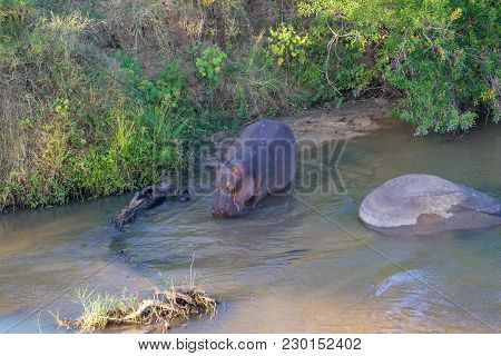 Hippo In The River Kruger National Park South Africa.jpg