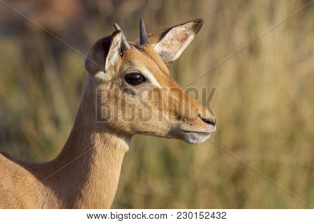 Portrait Of An Impala In The Kruger National Park South Africa