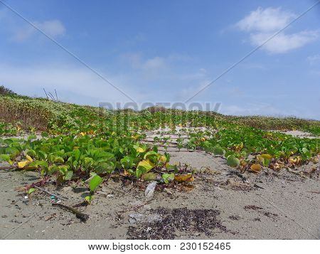 Vines That Grow On The Sand Dunes On Padre Island.  The Vines Protect The Dunes.  This Picture Was T