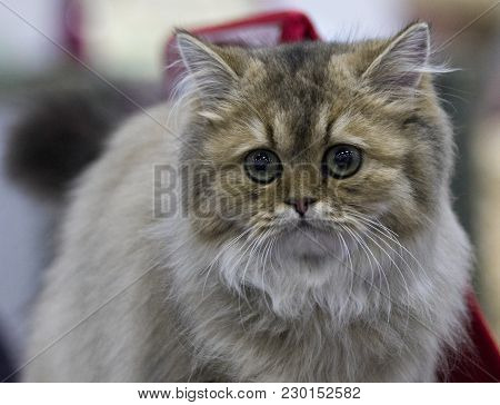 Portrait Of A Gray And Silver Gorgeous Kitten Of Siberian Breed Sitting On Sofa. Siberian Cat Lookin