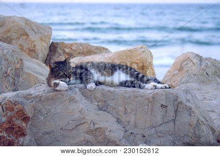 Beautiful Curious Scottish Wildcat (felis Silvestris Grampia) Laying On Beach. Three-colored Cat Sle