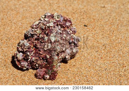Red Sea Stone With Barnacles Over Yellow Sand