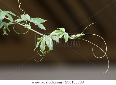Passion Flower Leaves In Tropical Garden. Beautiful Passion Flower Also Known As Passiflora (passifl
