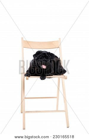 Black Pug On White Isolated Background. Sits In A Chair, Looks At The Camera.