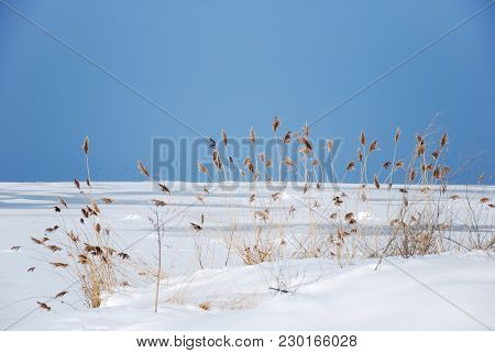 Winter Landscape With Fluffy Reeds By An Icy Coastline