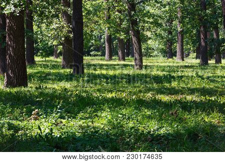Oak Trees Grove In A Suburban Neighborhood In Summer Meadow Green Grassy Park