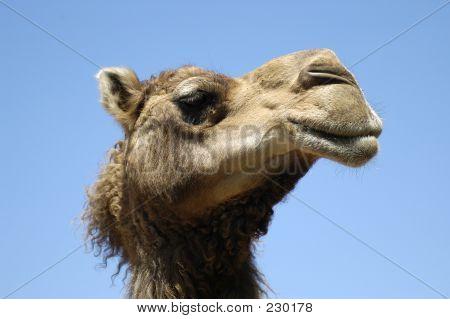 Tierische Kamel Gesicht