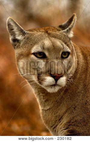 Tierische Cougar fallen