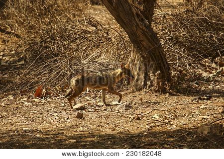 Young Coyote In The Sunlight In National Park Near Khajuraho, India