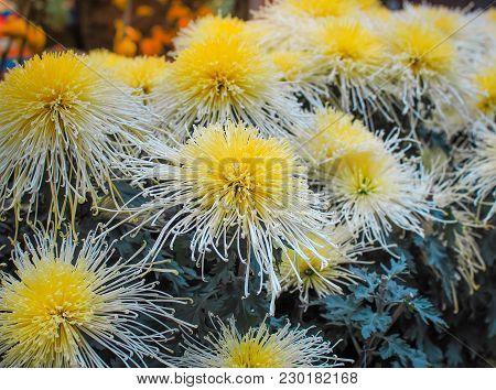 Beautiful Callistephus Chinensis (china Aster) In The Garden. Chinese Flower.