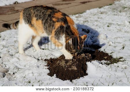 A Color Cat Trying Find In Molehill Other Animal. Weather Is Cold Because Is Winter