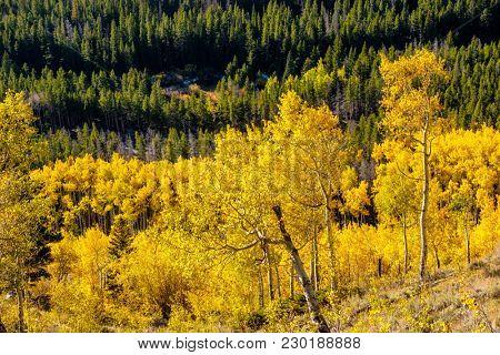 Aspen grove at autumn in Rocky Mountain National Park. Colorado, USA.