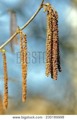 Catkins Of Hazel Corylus Colurna Hang From The Branches