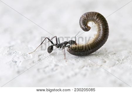 Ant Dragging A Huge Worm, Compared To Her, By A Very White Wall