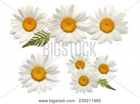 Chamomile daisy flower isolated on white. Collection.