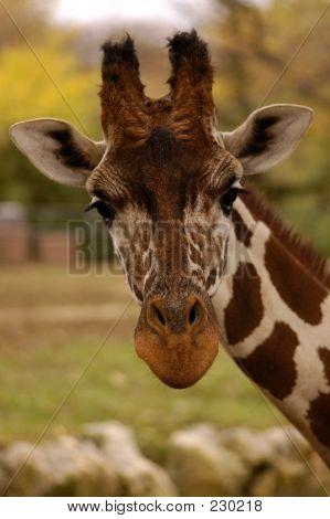 Tierische Wildlife Giraffe