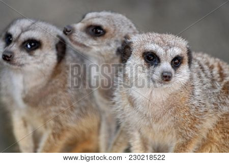 Three Little Meerkats Sitting In The Corner, With A Gray Background.
