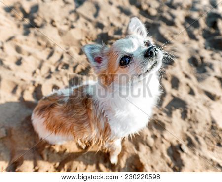 Chihuahua dog close-up sitting on beach sand background