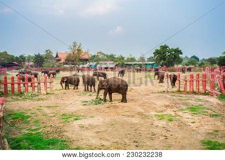 A Group Of Thai Elephants In Farm