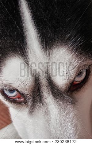 Muzzle Blue-eyed Siberian Husky Close-up. Husky Dog Looks Sideways, Putting His Head On His Paws. To