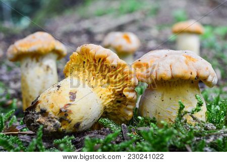 Group Of Cantharellus Cibarius Bicolor Or Chanterelle Mushrooms In Natural Habitat, Close Up View, S